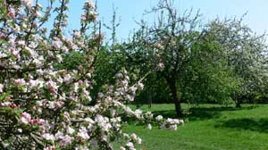 Blossoming apple orchards, Herefordshire