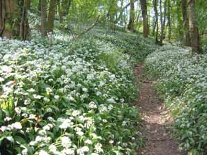 Wild garlic or ramsons fringe the path